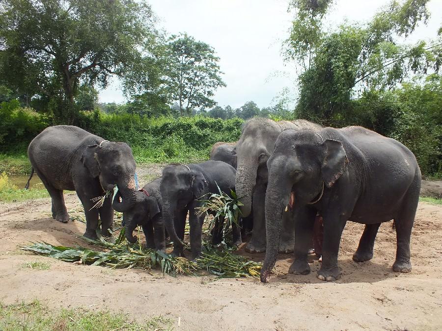 The Thai Elephant Today