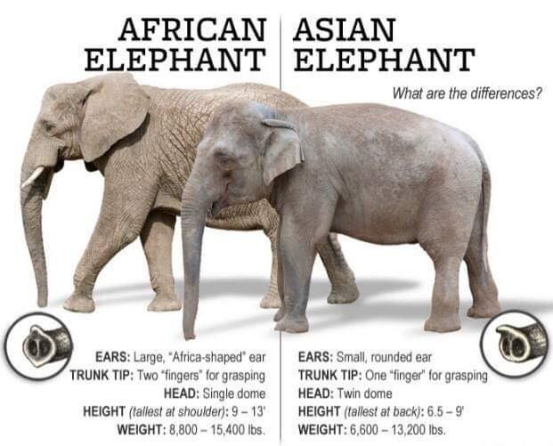 The differences between African and Asian Elephants