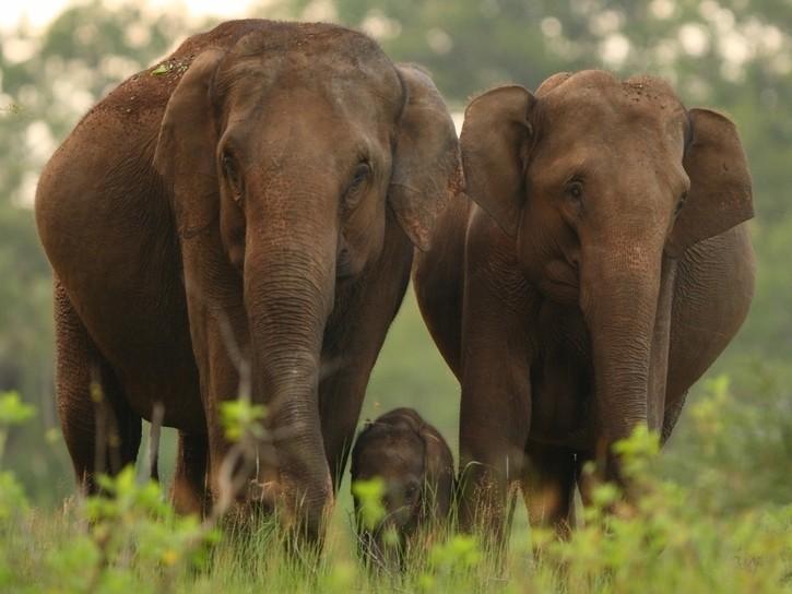Wild population of Asian elephants
