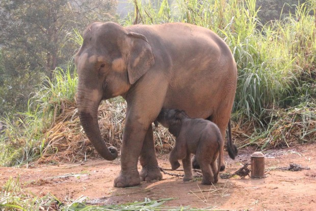 เมื่อคลอดแล้วช้างจะเดินได้เลยไหม