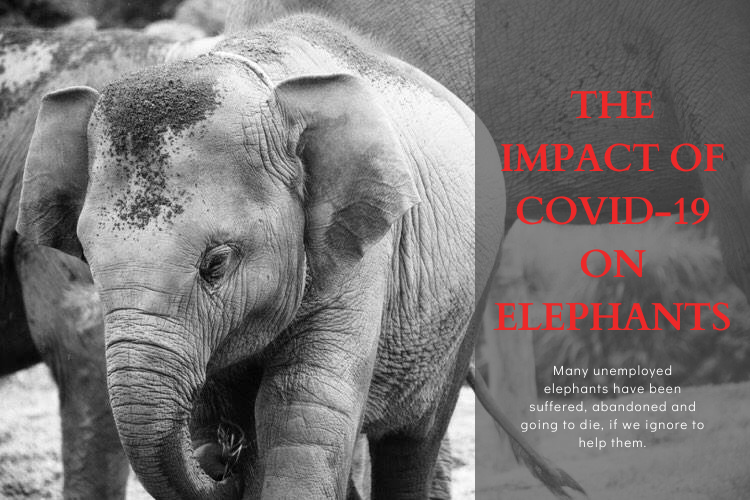 The COVID-19 crisis to Thailand's elephants