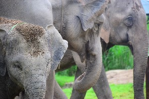 The Thai Elephant in History