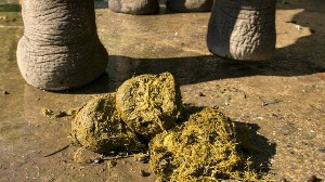 Don't pooh-pooh it: Making paper from elephant dung