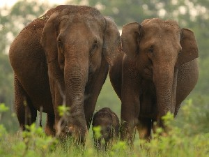 Wild population of Asian elephants