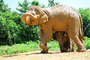 Habit of the Asian Elephant