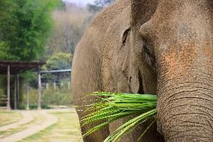 How many kilograms of food an elephant eats  per day
