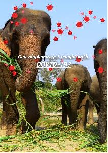 ช้างติดโควิดได้หรือไม่? (Can elephants get caught with COVID-19?)