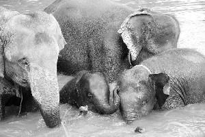 Elephant in pregnant time ????