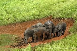 ช้างกินดินทำไมกันนะ