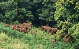 ช้างป่าในทองผาภูมิ